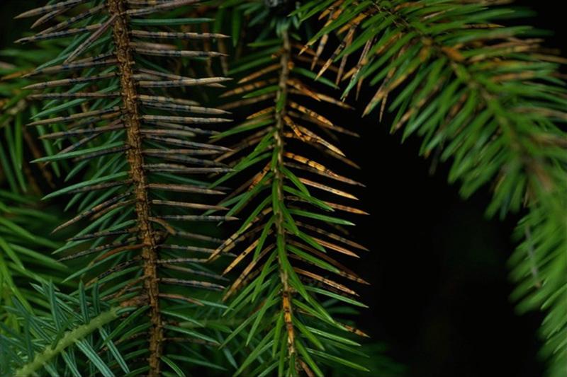 Rouge des épinettes - Fructifications de <em>Lirula macrospora</em> sur une épinette de Sitka