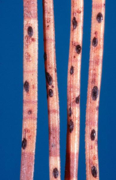 Rouge du pin noir - Fructifications typiques du rouge des pins sur des aiguilles de pin infectées.