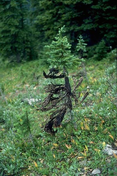 Feutrage brun - Masses de mycélium ressemblant à un feutrage brun, caractéristique de <em>Herpotrichia juniperi</em>, sur les aiguilles et les branches d'une pruche