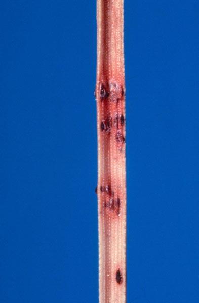 Brûlure en bandes rouges