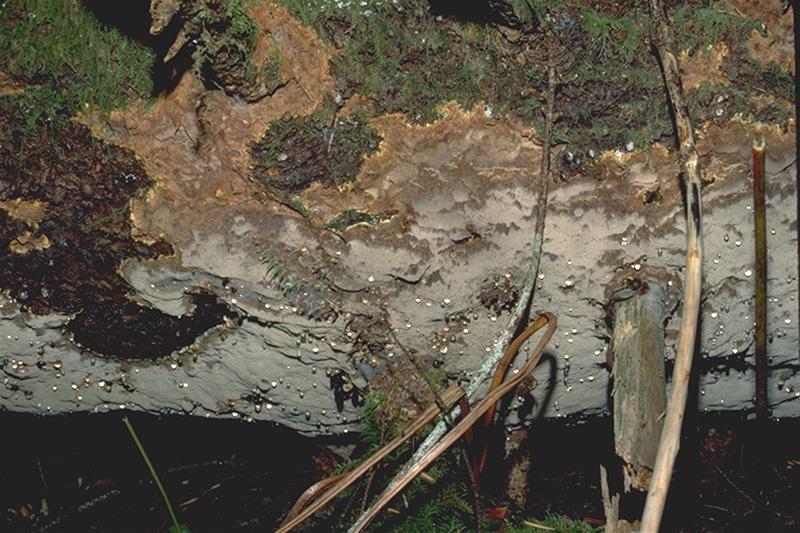 Carie laminée des racines du Douglas taxifolié - Fructification de <em>P. weirii</em> sur le Douglas taxifolié