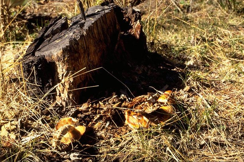Pourridié-agaric à <em>Armillaria ostoyae</em>