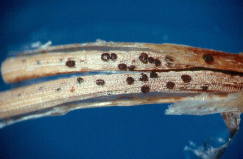 Brûlure des pousses à <em>Sirococcus conigenus</em> -