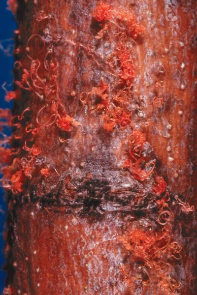 Chancre cytosporéen